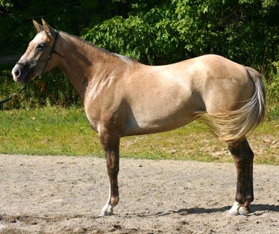 Buckskin Paint Horses For Sale In Ny