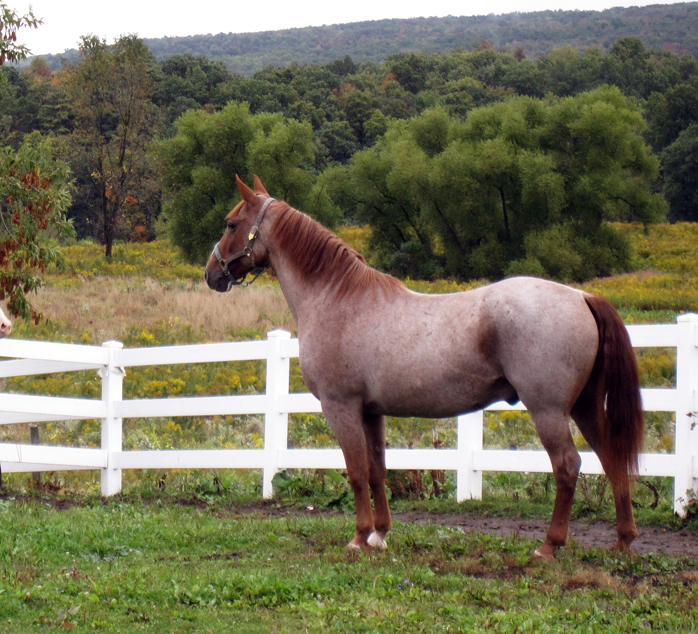 View topic - SH #1 - Flaxen Strawberry Roan Mare - Chicken ... - photo#11